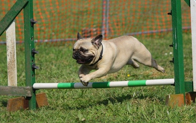 pug who is running