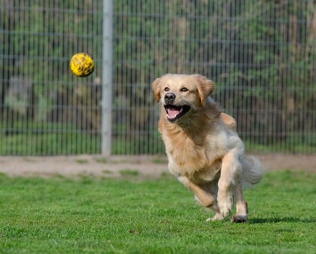 dog is running after a tennis ball